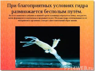 При благоприятных условиях гидра размножается бесполым путём. На теле животного