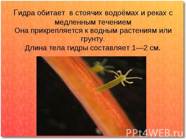 Гидра обитает в стоячих водоёмах и реках с медленным течением Она прикрепляется к водным растениям или грунту. Длина тела гидры составляет 1—2 см.