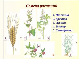 Семена растений Пшеница Гречиха 3. Люпин 4. Клевер 5. Тимофеевка