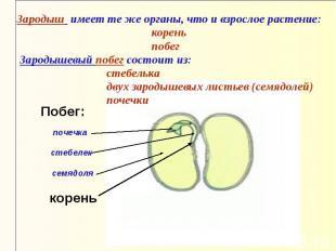 Зародыш имеет те же органы, что и взрослое растение: корень побег Зародышевый по