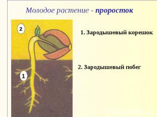 Молодое растение - проросток 1. Зародышевый корешок 2. Зародышевый побег