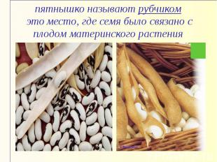 пятнышко называют рубчиком это место, где семя было связано с плодом материнског