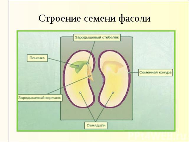Строение семени фасоли