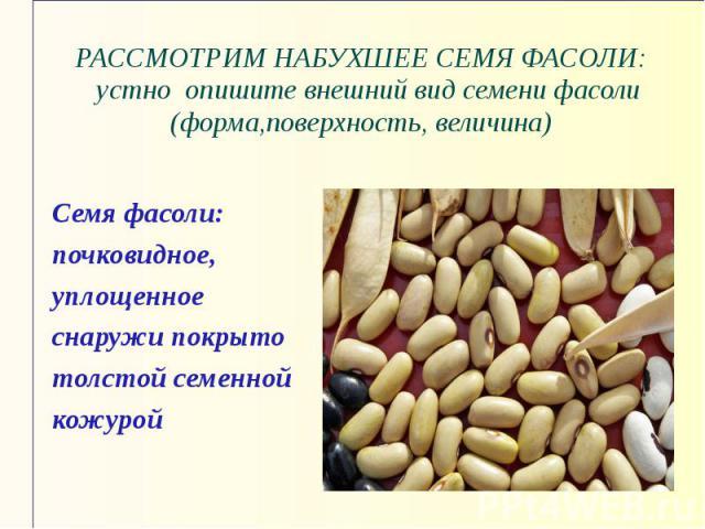 РАССМОТРИМ НАБУХШЕЕ СЕМЯ ФАСОЛИ: устно опишите внешний вид семени фасоли (форма,поверхность, величина) Семя фасоли: почковидное, уплощенное снаружи покрыто толстой семенной кожурой