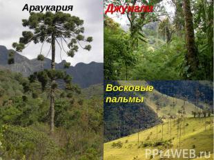 Восковые пальмы Араукария Джунгли