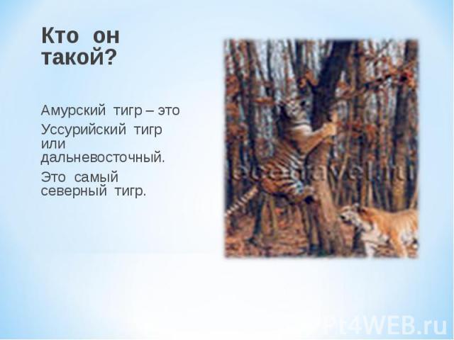 Кто он такой? Амурский тигр – это Уссурийский тигр или дальневосточный. Это самый северный тигр.