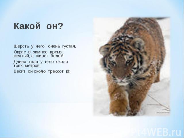 Какой он? Шерсть у него очень густая. Окрас в зимнее время- желтый, а живот белый. Длина тела у него около трех метров. Весит он около трехсот кг.