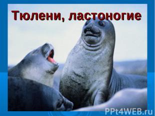 Тюлени, ластоногие