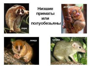 Низшие приматы или полуобезьяны