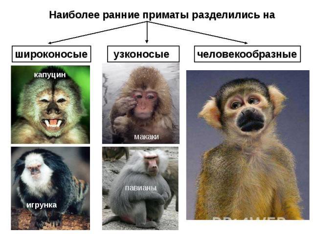 Наиболее ранние приматы разделились на широконосые узконосые человекообразные