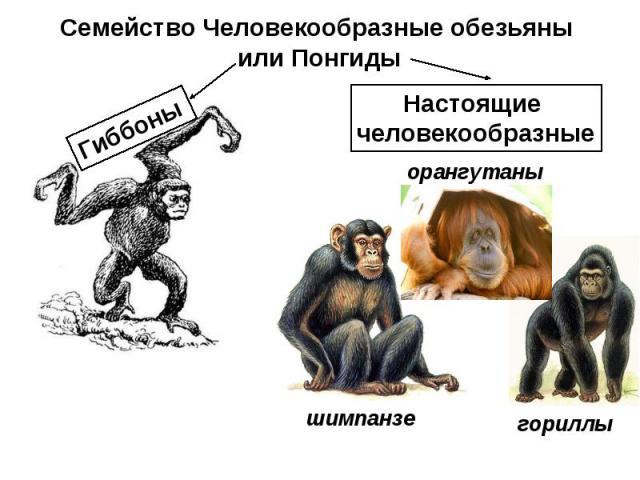 Семейство Человекообразные обезьяны или Понгиды Настоящие человекообразные