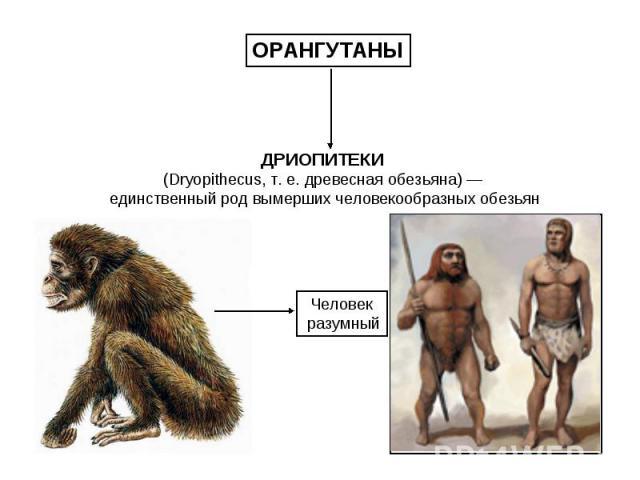 ОРАНГУТАНЫ ДРИОПИТЕКИ (Dryopithecus, т. е. древесная обезьяна) — единственный род вымерших человекообразных обезьян