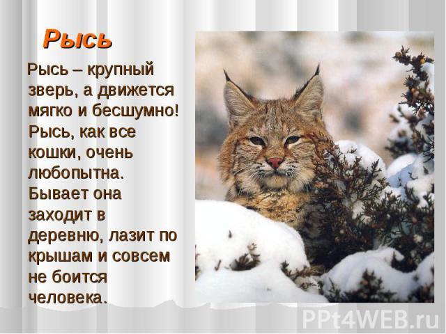 Рысь Рысь – крупный зверь, а движется мягко и бесшумно! Рысь, как все кошки, очень любопытна. Бывает она заходит в деревню, лазит по крышам и совсем не боится человека.