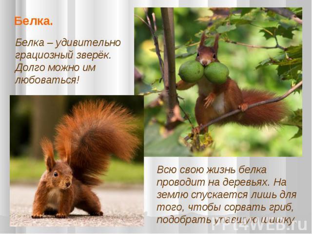 Белка. Белка – удивительно грациозный зверёк. Долго можно им любоваться! Всю свою жизнь белка проводит на деревьях. На землю спускается лишь для того, чтобы сорвать гриб, подобрать упавшую шишку.