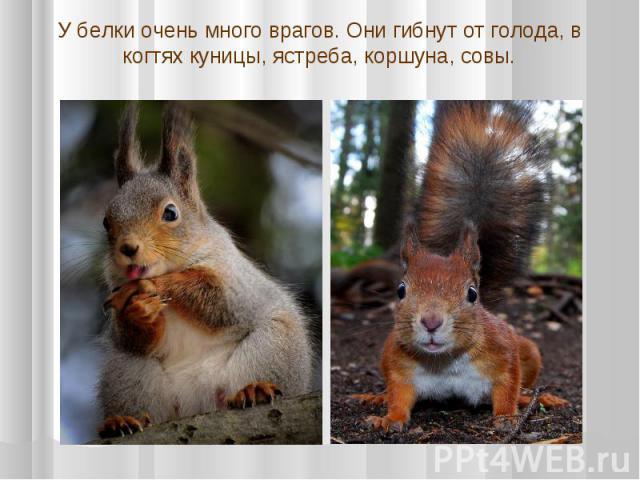 У белки очень много врагов. Они гибнут от голода, в когтях куницы, ястреба, коршуна, совы.