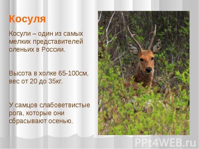 КосуляКосули – один из самых мелких представителей оленьих в России. Высота в холке 65-100см, вес от 20 до 35кг. У самцов слабоветвистые рога, которые они сбрасывают осенью.