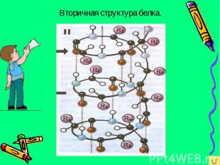 Вторичная структура белка.