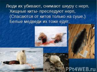 Люди их убивают, снимают шкуру с нерп. Хищные киты- преследуют нерп, (Спасаются