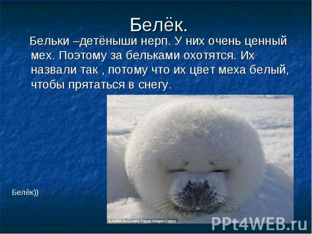 Белёк. Бельки –детёныши нерп. У них очень ценный мех. Поэтому за бельками охотятся. Их назвали так , потому что их цвет меха белый, чтобы прятаться в снегу.
