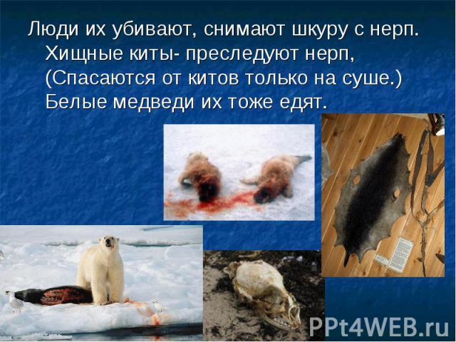 Люди их убивают, снимают шкуру с нерп. Хищные киты- преследуют нерп, (Спасаются от китов только на суше.) Белые медведи их тоже едят.