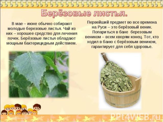 Берёзовые листья. В мае – июне обычно собирают молодые березовые листья. Чай из них – хорошее средство для лечения почек. Берёзовые листья обладают мощным бактерицидным действием. Первейший предмет во все времена на Руси – это берёзовый веник. Попар…