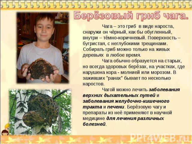 Берёзовый гриб чага. Чага – это гриб в виде нароста, снаружи он чёрный, как бы обугленный, внутри – тёмно-коричневый. Поверхность – бугристая, с неглубокими трещинами. Собирать гриб можно только на живых деревьях в любое время. Чага обычно образуетс…