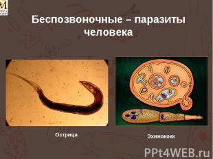 Беспозвоночные – паразиты человека Острица Эхинококк
