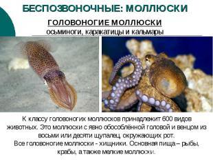 БЕСПОЗВОНОЧНЫЕ: МОЛЛЮСКИ ГОЛОВОНОГИЕ МОЛЛЮСКИ осьминоги, каракатицы и кальмары К