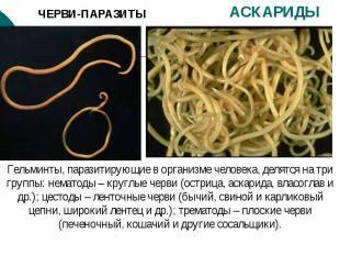 ЧЕРВИ-ПАРАЗИТЫ АСКАРИДЫ Гельминты, паразитирующие в организме человека, делятся