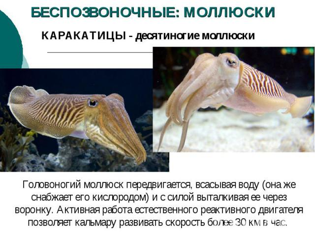 БЕСПОЗВОНОЧНЫЕ: МОЛЛЮСКИ КАРАКАТИЦЫ - десятиногие моллюски Головоногий моллюск передвигается, всасывая воду (она же снабжает его кислородом) и с силой выталкивая ее через воронку. Активная работа естественного реактивного двигателя позволяет кальмар…