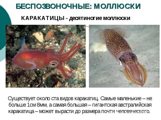 БЕСПОЗВОНОЧНЫЕ: МОЛЛЮСКИ КАРАКАТИЦЫ - десятиногие моллюски Существует около ста видов каракатиц. Самые маленькие – не больше 1см 8мм, а самая большая – гигантская австралийская каракатица – может вырасти до размера почти человеческого.