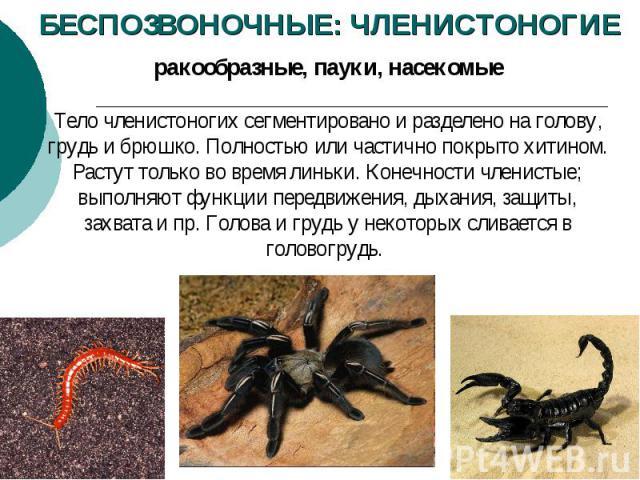 БЕСПОЗВОНОЧНЫЕ: ЧЛЕНИСТОНОГИЕ ракообразные, пауки, насекомые Тело членистоногих сегментировано и разделено на голову, грудь и брюшко. Полностью или частично покрыто хитином. Растут только во время линьки. Конечности членистые; выполняют функции пере…