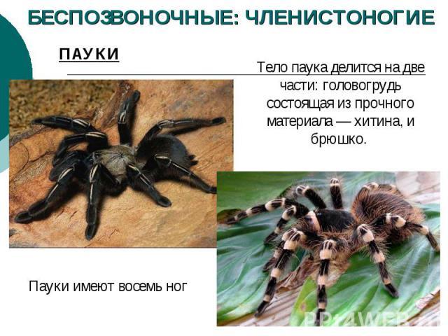 БЕСПОЗВОНОЧНЫЕ: ЧЛЕНИСТОНОГИЕ Тело паука делится на две части: головогрудь состоящая из прочного материала — хитина, и брюшко. Пауки имеют восемь ног