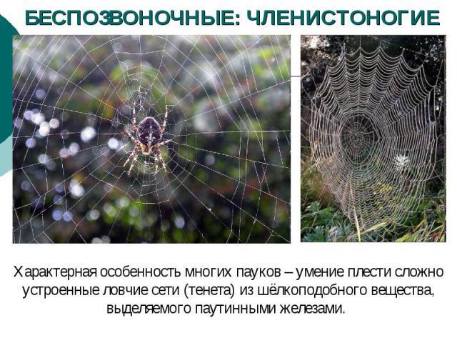 БЕСПОЗВОНОЧНЫЕ: ЧЛЕНИСТОНОГИЕ Характерная особенность многих пауков – умение плести сложно устроенные ловчие сети (тенета) из шёлкоподобного вещества, выделяемого паутинными железами.
