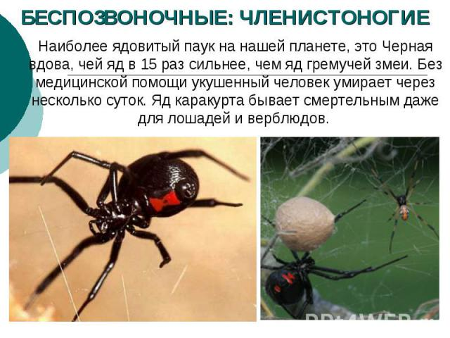 БЕСПОЗВОНОЧНЫЕ: ЧЛЕНИСТОНОГИЕ Наиболее ядовитый паук нанашей планете, это Черная вдова, чей ядв15раз сильнее, чем ядгремучей змеи. Без медицинской помощи укушенный человек умирает через несколько суток. Ядкаракурта бывает смертельным даже для …