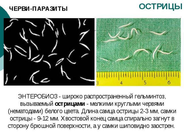 ЧЕРВИ-ПАРАЗИТЫ ОСТРИЦЫ ЭНТЕРОБИОЗ - широко распространенный гельминтоз, вызываемый острицами - мелкими круглыми червями (нематодами) белого цвета. Длина самца острицы 2-3 мм, самки острицы - 9-12 мм. Хвостовой конец самца спирально загнут в сторону …