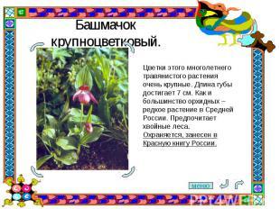 Башмачок крупноцветковый. Цветки этого многолетнего травянистого растения очень