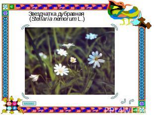 Звездчатка дубравная (Stellaria nemorum L.)