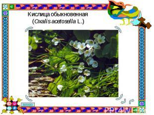 Кислица обыкновенная (Oxalis acetosella L.)