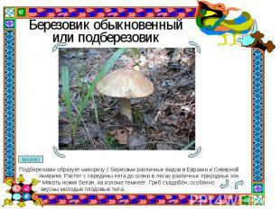 Березовик обыкновенный или подберезовик Подберезовик образует микоризу с березам