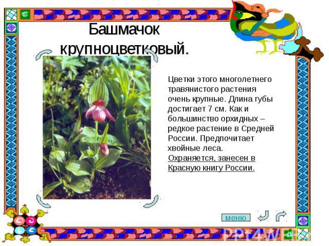 Башмачок крупноцветковый. Цветки этого многолетнего травянистого растения очень крупные. Длина губы достигает 7 см. Как и большинство орхидных – редкое растение в Средней России. Предпочитает хвойные леса. Охраняется, занесен в Красную книгу России.