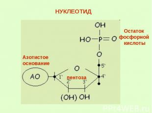 НУКЛЕОТИД Остаток фосфорной кислоты Азотистое основание