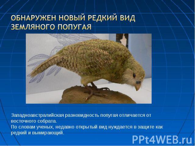 Обнаружен новый редкий вид земляного попугая Западноавстралийская разновидность попугая отличается от восточного собрата. По словам ученых, недавно открытый вид нуждается в защите как редкий и вымирающий.