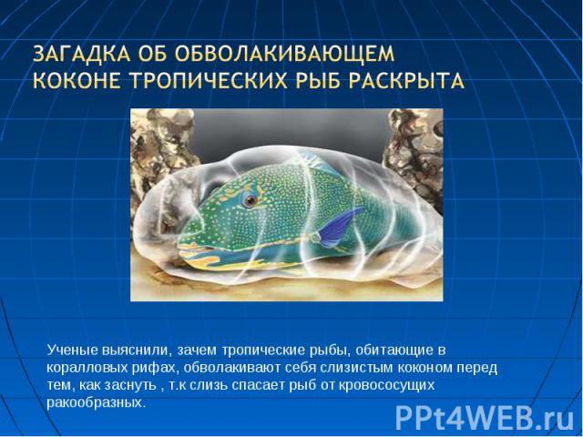 Загадка об обволакивающем коконе тропических рыб раскрыта Ученые выяснили, зачем тропические рыбы, обитающие в коралловых рифах, обволакивают себя слизистым коконом перед тем, как заснуть , т.к слизь спасает рыб от кровососущих ракообразных.