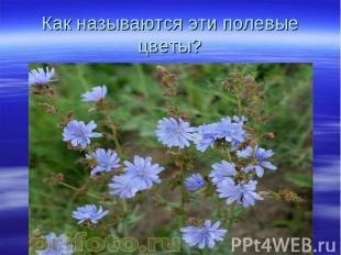 Как называются эти полевые цветы?