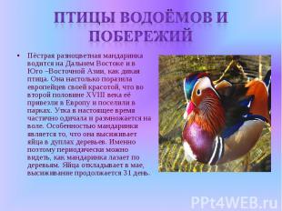 Птицы водоёмов и побережий Пёстрая разноцветная мандаринка водится на Дальнем Во