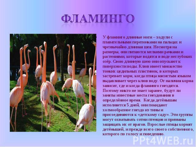Фламинго У фламинго длинные ноги – ходули с плавательными перепонками на пальцах и чрезвычайно длинная шея. Несмотря на размеры, они питаются мелкими рачками и растениями, которые водятся в воде неглубоких озёр. Свою длинную шею они опускают к повер…