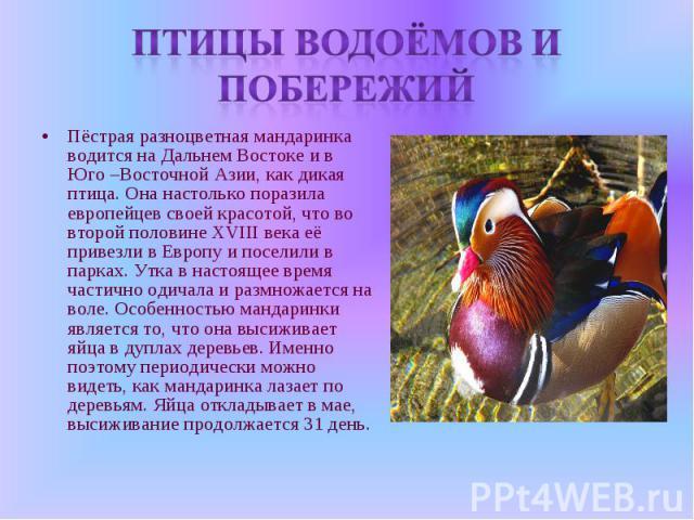 Птицы водоёмов и побережий Пёстрая разноцветная мандаринка водится на Дальнем Востоке и в Юго –Восточной Азии, как дикая птица. Она настолько поразила европейцев своей красотой, что во второй половине XVIII века её привезли в Европу и поселили в пар…