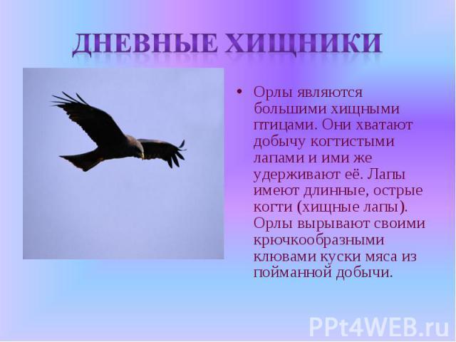 Дневные хищники Орлы являются большими хищными птицами. Они хватают добычу когтистыми лапами и ими же удерживают её. Лапы имеют длинные, острые когти (хищные лапы). Орлы вырывают своими крючкообразными клювами куски мяса из пойманной добычи.