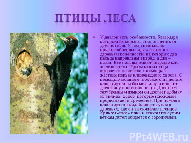 Птицы леса У дятлов есть особенности, благодаря которым их можно легко отличить от других птиц. У них специально приспособленные для лазания по деревьям конечности, на которых два пальца направлены вперёд, а два – назад. Все пальцы имеют твёрдые как…